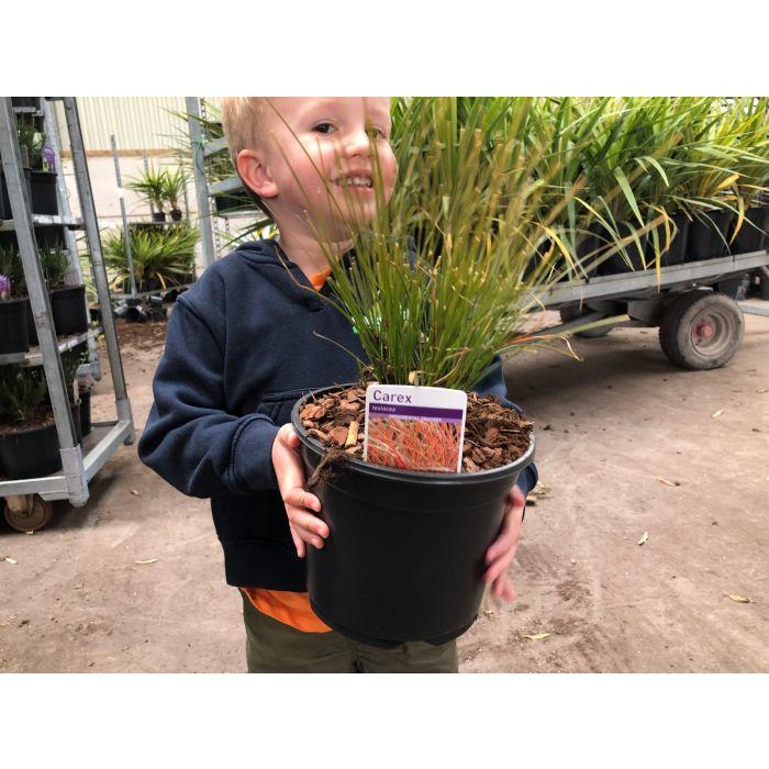 Carex Testacea Prairie Fire 3 Litre Pot