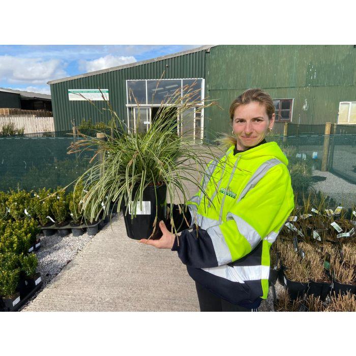 Carex Evercream  5 Litre Pot