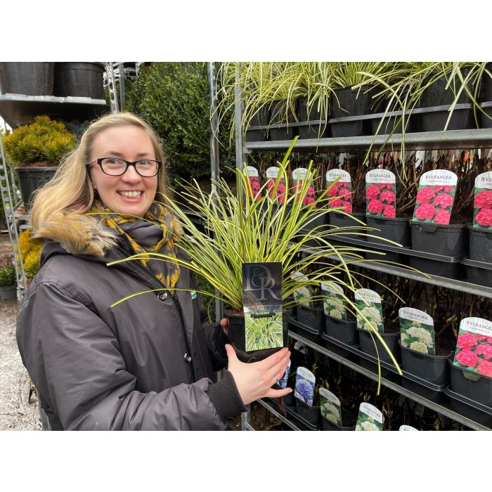 Carex Evergold 2 Litre Pot