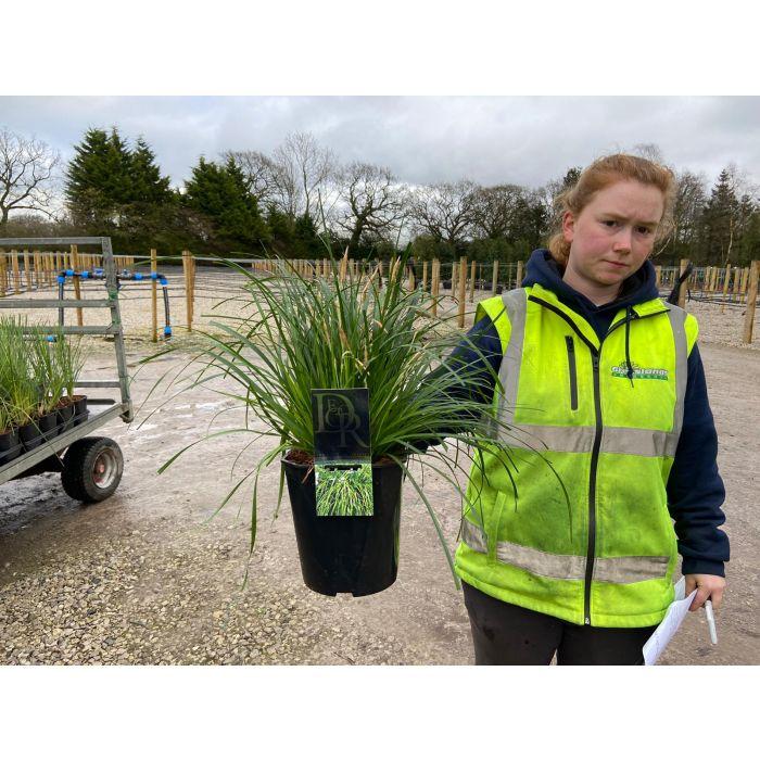 Carex Evergreen 5 Litre Pot