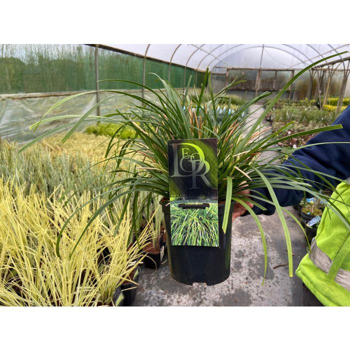 Carex Evergreen 2 Litre Pot