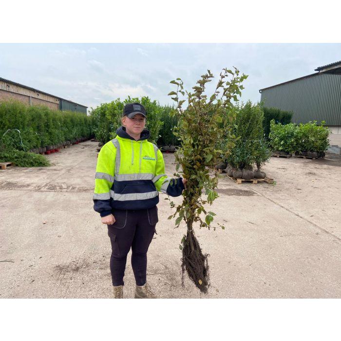 Hornbeam Hedging 80/100 cm Bare Root Digging Now