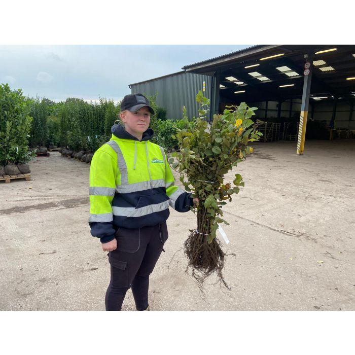Hornbeam Carpinus Betulus 60/80 cm Bare Root Digging Now