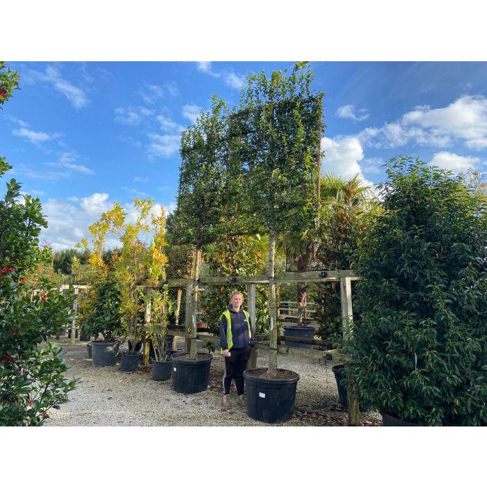 Carpinus Betulus Pleached Standard 160x200cm Frame 130Litre Pot