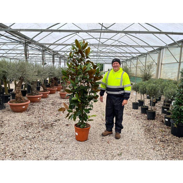 Magnolia Grandiflora 25 Litre Pot