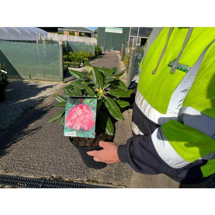 Rhododendron Yak. Fantastica 5 Litre Pot