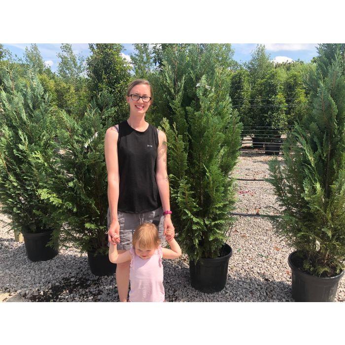 Chamaecyparis lawsoniana Columnaris 20 Litre Pot 160/180cm