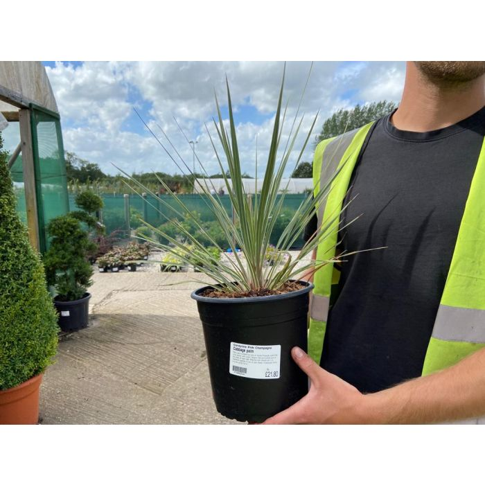 Cordyline Pink Champagn 4.5 Litre Pot