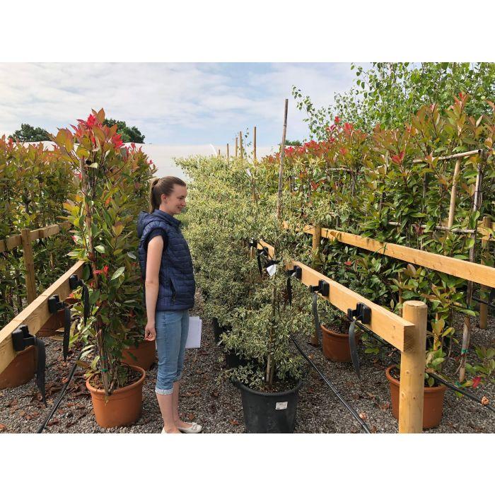 Cornus controversa Alternifolia Argentea 35 Litre Pot