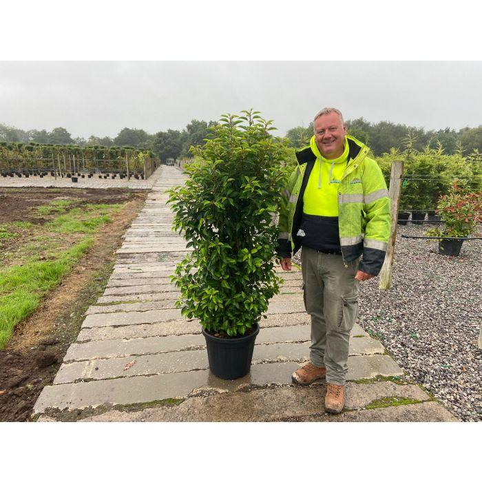 Prunus lusitanica Angustifolia 140/160 cm 25 Litre