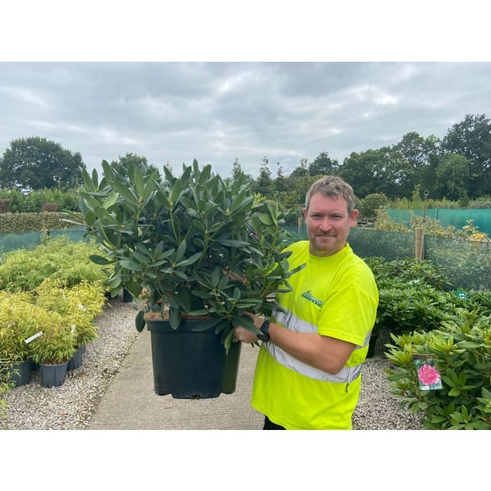Rhododendron Hybrid Roseum Elegans 25 Litre Pot