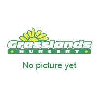 Griselinia Littoralis Hedging 25 Litre 130/140cm