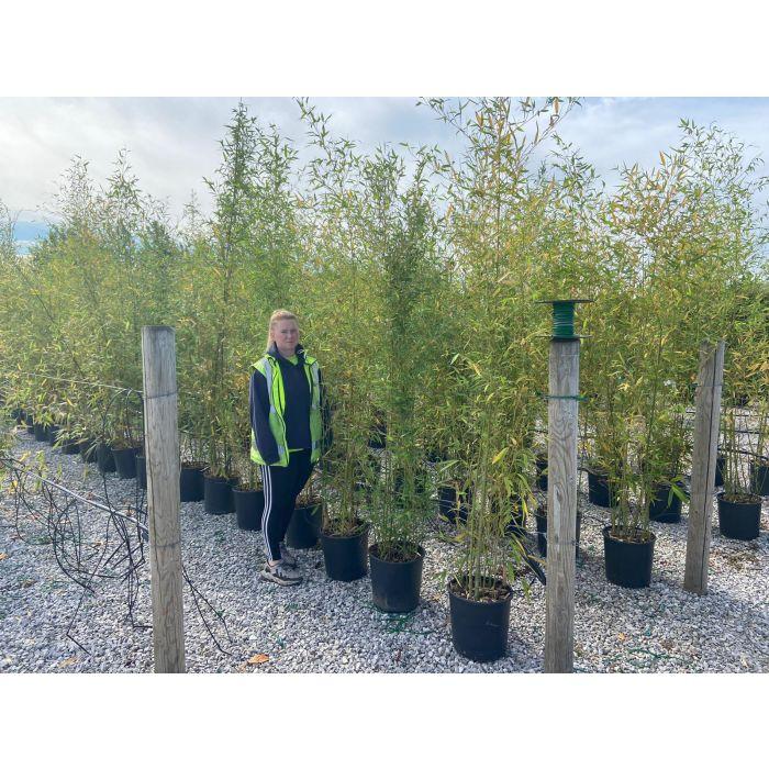 Bamboo Phyllostachys Aurea 18 Litre Pot 200/230cm