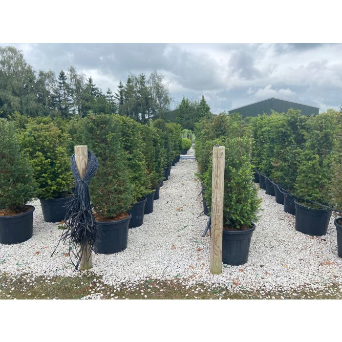 Yew Hedging 45 Litre Pot 130-150cm Extra Wide