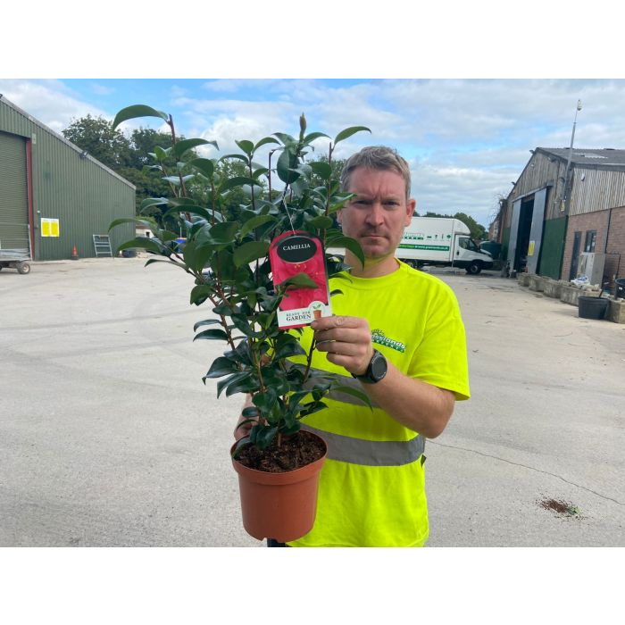 Camellia Japonica Blood of China 3 Litre Pot
