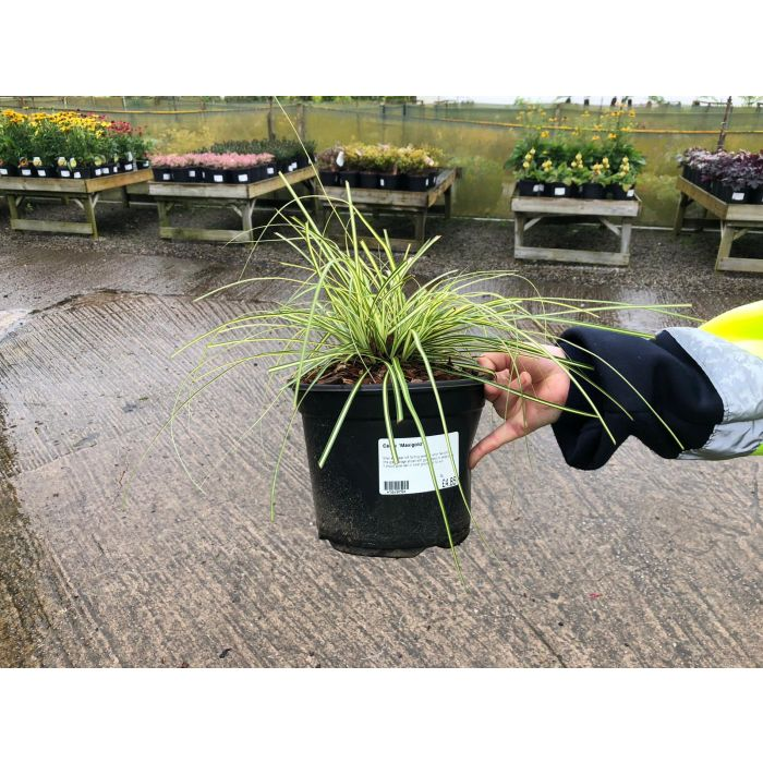 Carex Maxigold 3 Litre Pot