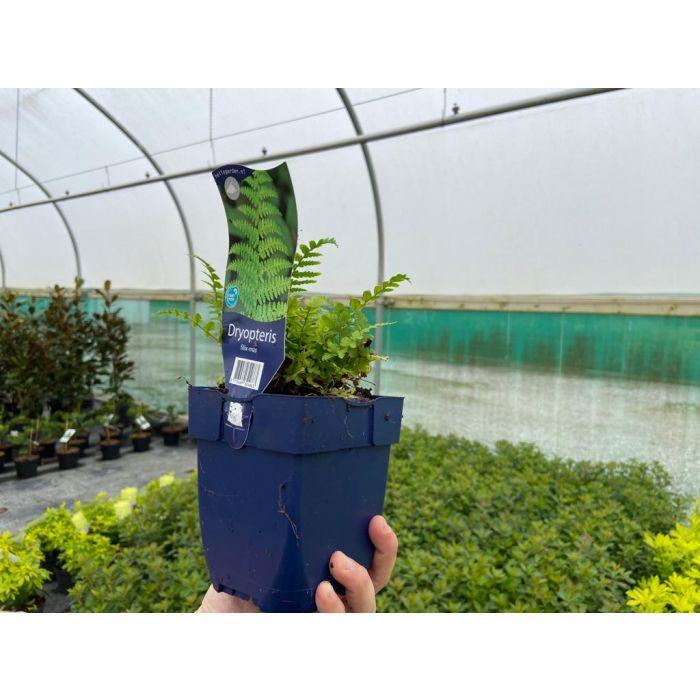 Dryopteris Filix-Mas 11cm Pot