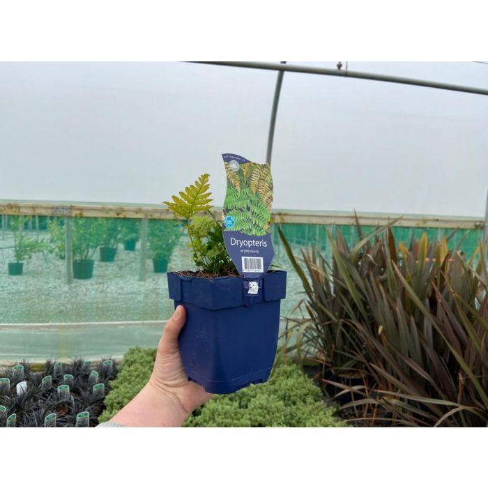 Dryopteris erythrosora 11cm Pot