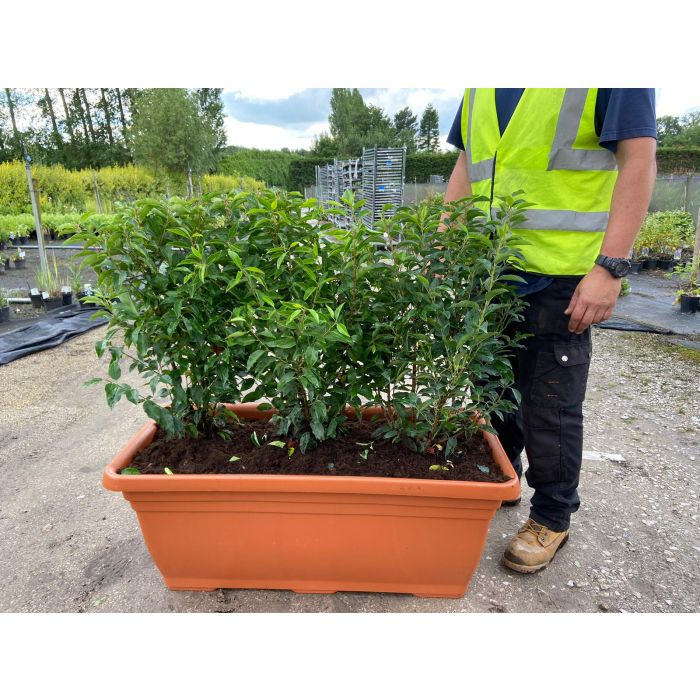 Portuguese Laurel  Planted Screen 1 metre long x 1 Metre Tall (inc planter)