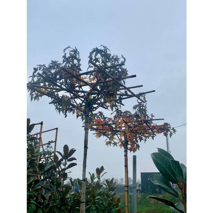Liquidambar s. Full Standard Canopy 10/12cm Girth & 250/280cm Trunk 150x150 Roof