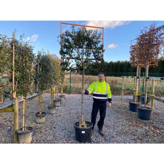 Portuguese Laurel 150cm Stem With Pleached Hedge Panel 120x120cm