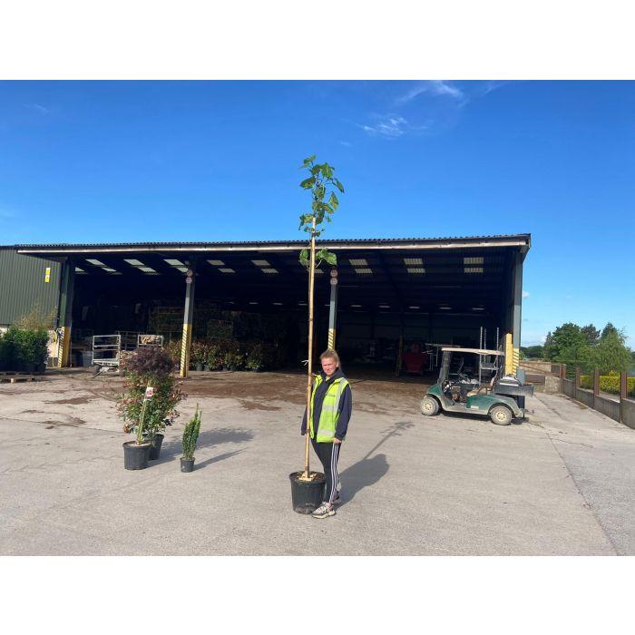 Paulownia Tomentosa Standard Tree 10/12G 20 Litre Pot