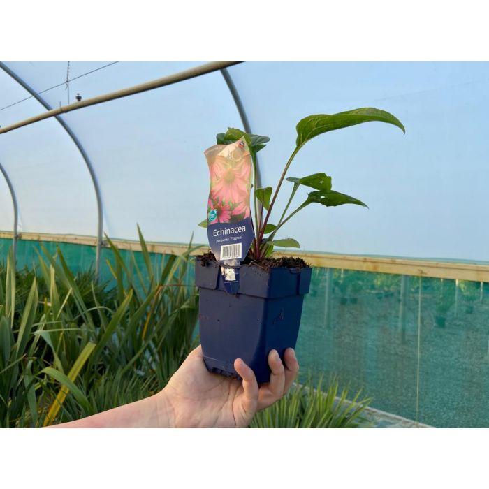 Echinacea Purpurea Magnus 11cm Pot