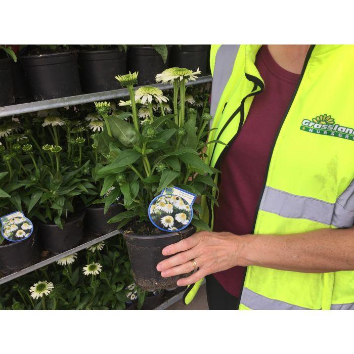Echinacea Delicious Nougat 2 Litre Pot