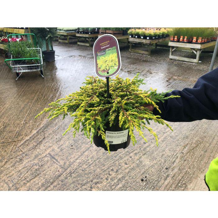 Juniperus Goldschatz 2.5 Litre Pot