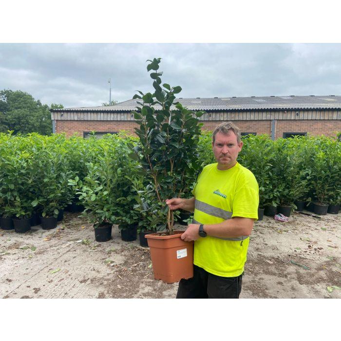 Camellia Japonica Nobilissima 15 Litre Pot