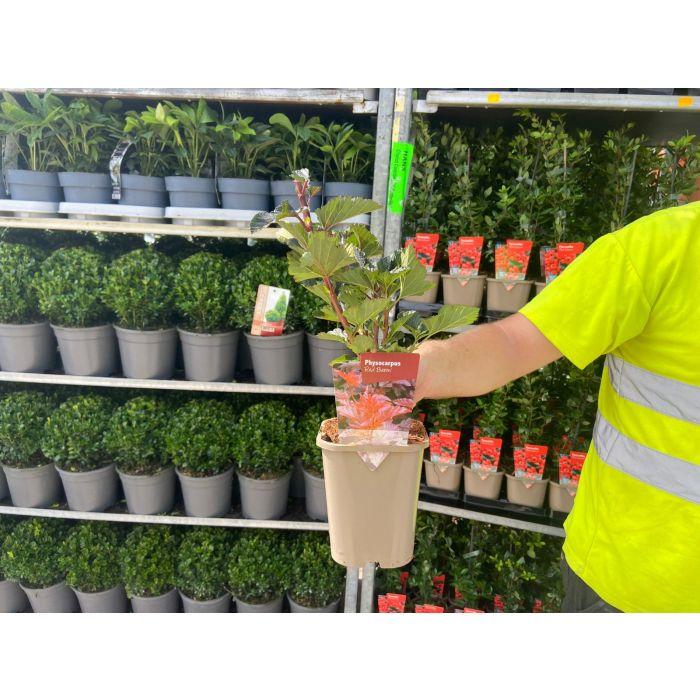 Physocarpus Red Baron 11cm Pot