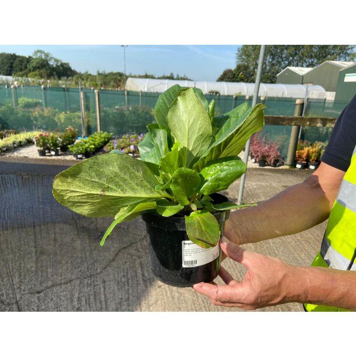 Bergenia Cordifolia Rose 2 Litre Pot