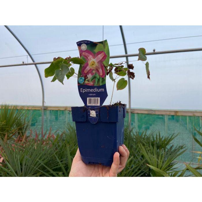 Epimedium Rubrum 11cm Pot