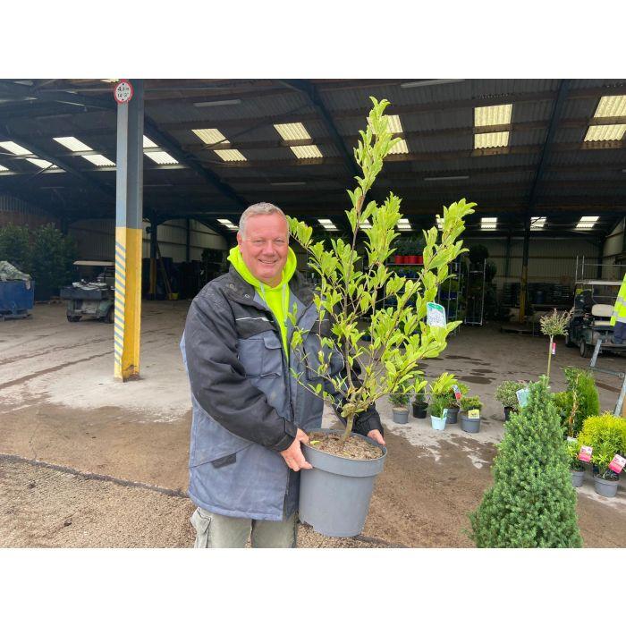 Magnolia Stellata 15 Litre Pot