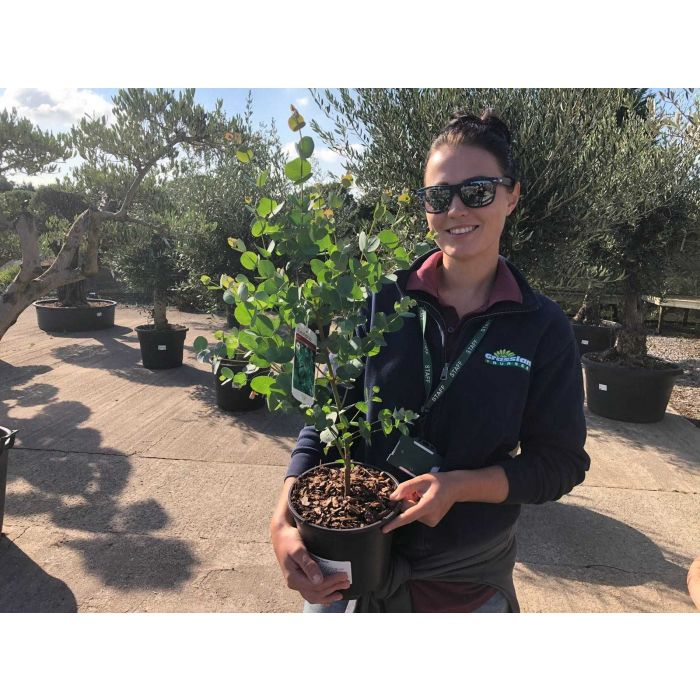 Eucalyptus Gunnii 3 Litre Pot