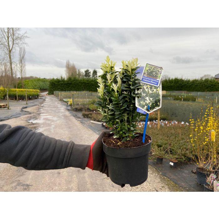 Euonymus Paloma Blanca 1.5 Litre Pot