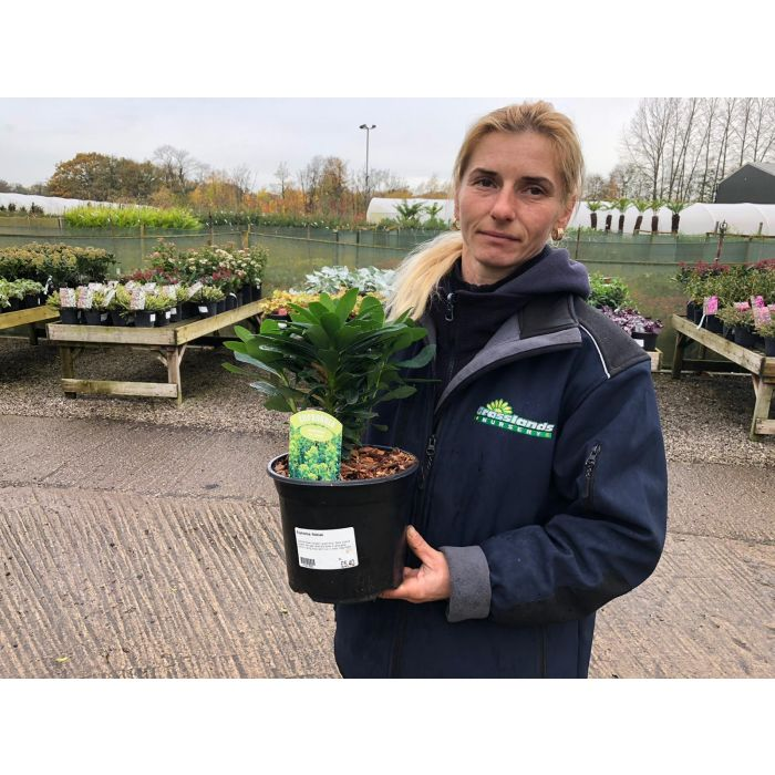 Euphorbia Robiae 3 Litre Pot