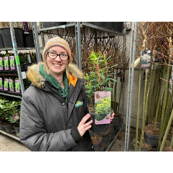 Euphorbia Martinii 2 Litre Pot