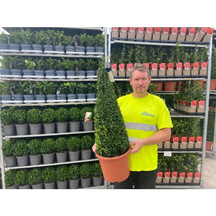 Buxus Cone Pot Grown 10 Litre 70-80cm