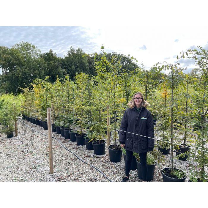Hornbeam Hedge Carpinus Betulus Pot Grown approx. 2m