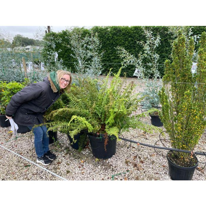 Dryopteris Crispa Cristata 55 Litre Specimen