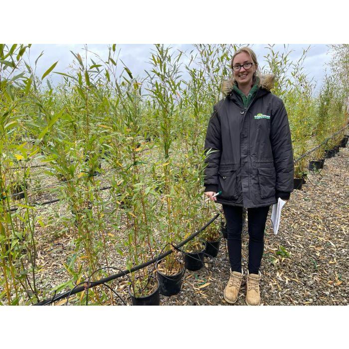 Bamboo Phyllostachys Aurea 5 Litre Pot 120/150