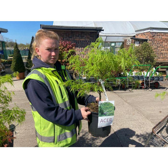 Acer palmatum Dissectum 6.5 Litre Pot