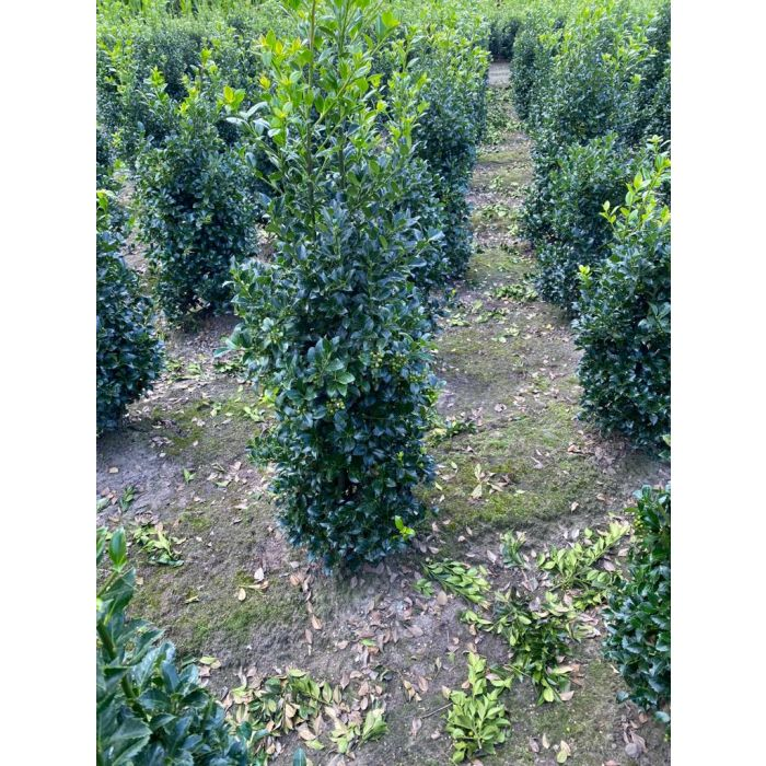 Ilex mes. Heckenfee Root Ball 100/120 Order For October