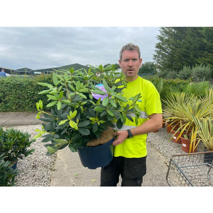 Rhododendron Hybrid Catawbiense Grandiflorum 15 Litre Pot