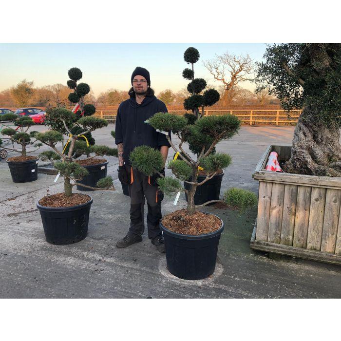 Pinus Sylvestris Bonsai 90 Litre Pot