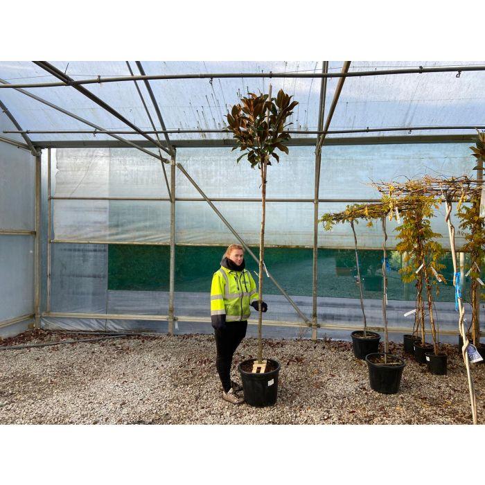 Magnolia Grandiflora Gallisoniensis 50 Litre Pot Full Std 8/10G