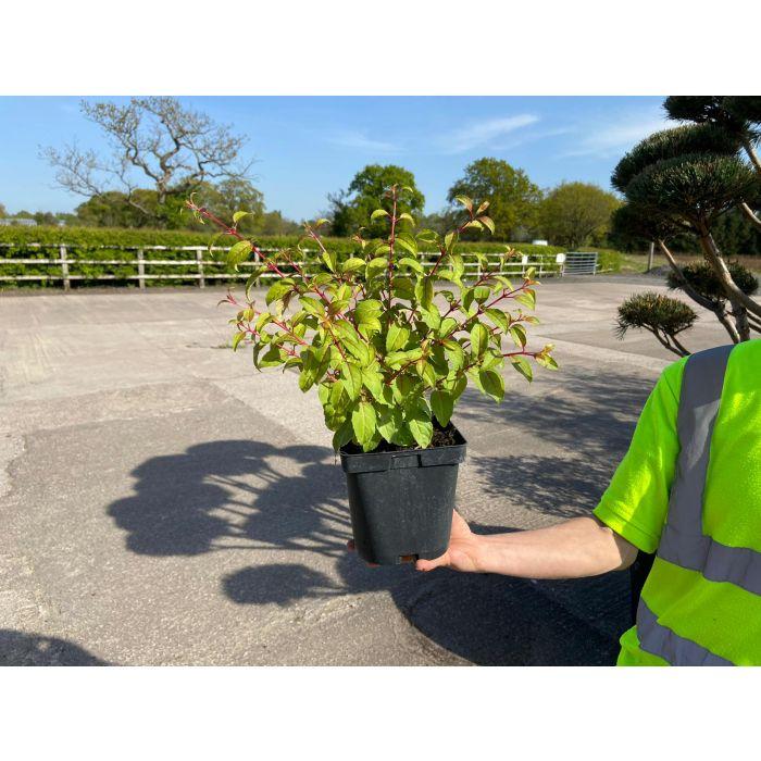 Fuchsia Genni 2 Litre Pot