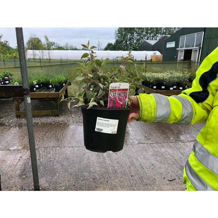 Fuchsia Versicolor 3 Litre Pot