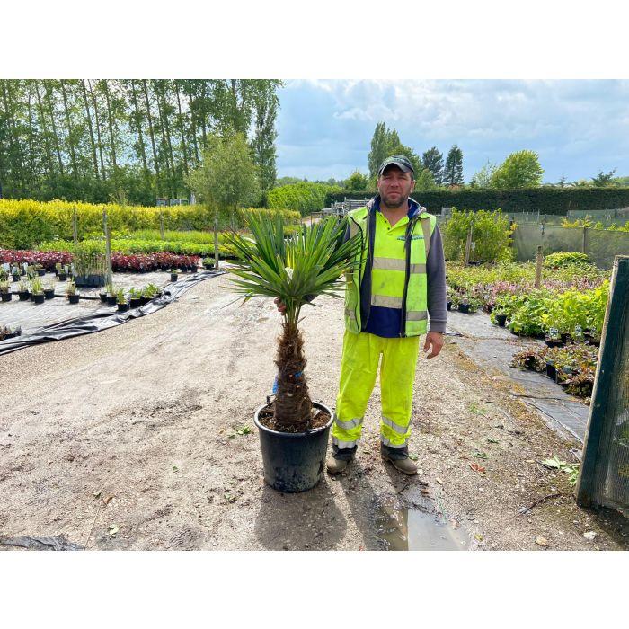 Trachycarpus Fortunei 23 Litre Pot 40/50cm Trunk